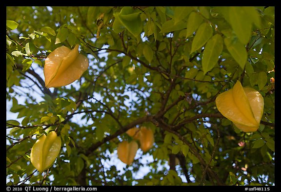 Carambola Fruit. Orlando, Florida, USA (color)