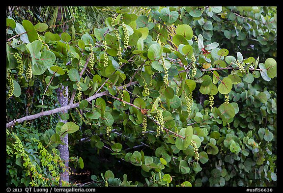 Seagrape (Coccoloba uvifera), Sanibel Island. Florida, USA (color)