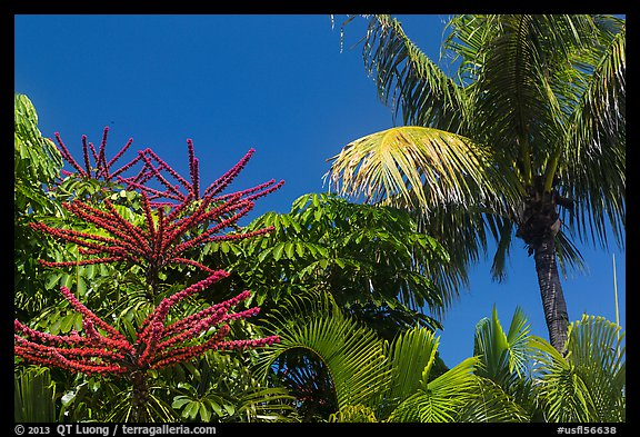 Flowering Octopus tree and palms, Sanibel Island. Florida, USA (color)