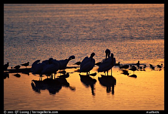 Pelicans and smaller wading birds at sunset, Ding Darling NWR. Sanibel Island, Florida, USA