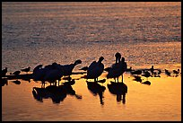 Pelicans and smaller wading birds at sunset, Ding Darling NWR. Sanibel Island, Florida, USA (color)