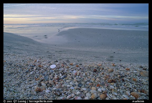 Beach covered with sea shells, sand dollar, shore bird, p sunrise. Sanibel Island, Florida, USA