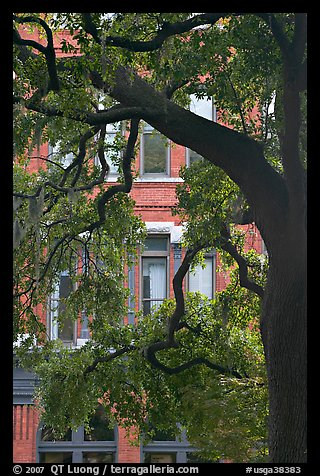 Live Oak tree and facade. Savannah, Georgia, USA
