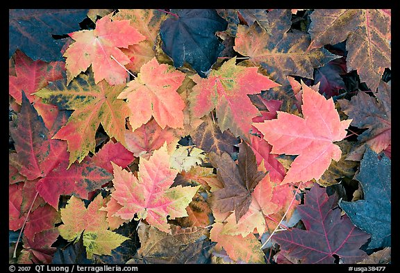 Close-up of maple leaves in fall colors. Georgia, USA (color)