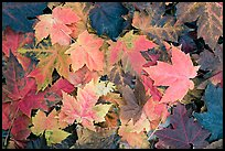 Close-up of maple leaves in fall colors. Georgia, USA ( color)