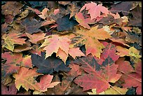 Close-up of fallen maple leaves. Georgia, USA (color)
