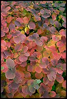 Shrub leaves in fall colors, Centenial Olympic Park. Atlanta, Georgia, USA (color)
