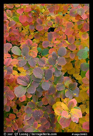 Shrub foliage in autumn colors. Atlanta, Georgia, USA