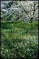 Spring wildflowers and tree in bloom, Bernheim arboretum. Kentucky, USA ( color)