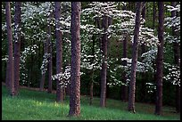 Pines and Dogwood trees in bloom, Bernheim arboretum. Kentucky, USA (color)