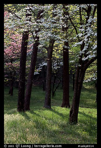 White and pink trees in bloom, Bernheim arboretum. Kentucky, USA (color)