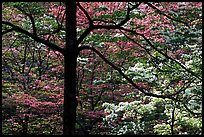 Pink and white trees  in bloom, Bernheim arboretum. Kentucky, USA (color)