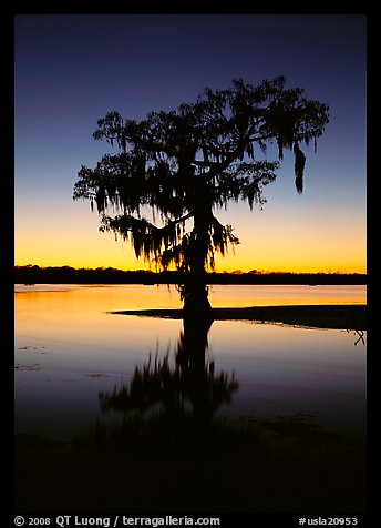 Bald cypress silhouetted at sunset, Lake Martin. USA (color)