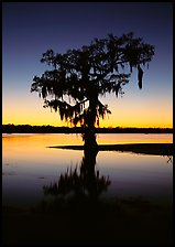 Bald cypress silhouetted at sunset, Lake Martin. USA ( color)