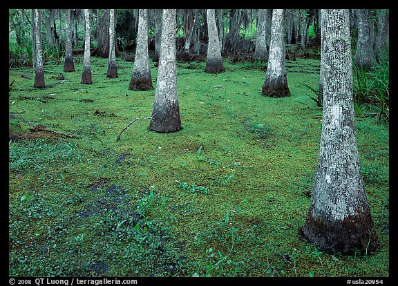 Cypress growing in vegetation-covered swamp, Jean Lafitte Historical Park and Preserve, New Orleans. New Orleans, Louisiana, USA