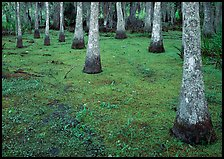 Cypress growing in vegetation-covered swamp, Jean Lafitte Historical Park and Preserve, New Orleans. New Orleans, Louisiana, USA (color)