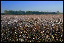Cotton field. Louisiana, USA ( color)