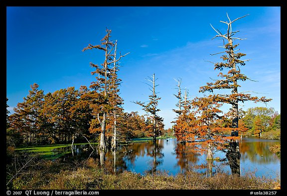 Pond and bald cypress in fall color. Louisiana, USA (color)