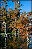 Bald cypress in fall color. Louisiana, USA