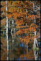 Bald cypress with needles in fall color. Louisiana, USA (color)