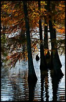 Pond and backlit cypress leaves in autumn color. Louisiana, USA