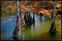 Cypress in fall colors, Lake Providence. Louisiana, USA