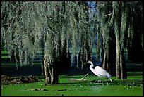 Great Egret and cypress covered with spanish moss, Lake Martin. Louisiana, USA (color)