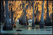 Bald Cypress covered with spanish moss, Lake Martin. Louisiana, USA