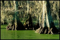 Pictures of Spanish Moss