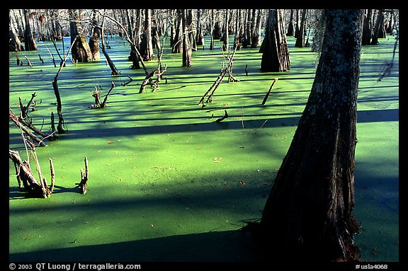 Bald Cypress growing out of the green waters of the swamp, Lake Martin. Louisiana, USA