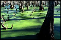Bald Cypress growing out of the green waters of the swamp, Lake Martin. Louisiana, USA ( color)