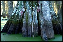 Bald Cypress trunks, Lake Martin. Louisiana, USA (color)