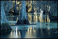 Bald Cypress and reflections, Lake Martin. Louisiana, USA (color)