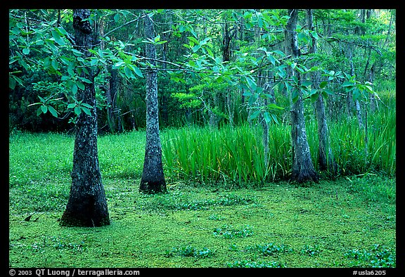 Bald cypress and swamp in spring, Barataria Preserve, Jacques Laffite Park. New Orleans, Louisiana, USA