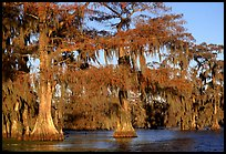 Bald cypress, late afternoon, Lake Martin. Louisiana, USA (color)