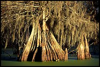 Big bald cypress tress, Lake Martin. Louisiana, USA (color)