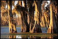 Trees covered by Spanish Moss at sunset, Lake Martin. Louisiana, USA ( color)
