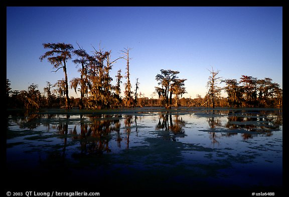 Bald cypress reflected in water. Louisiana, USA