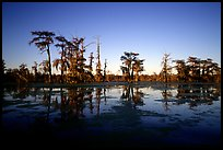 Bald cypress reflected in water. Louisiana, USA (color)