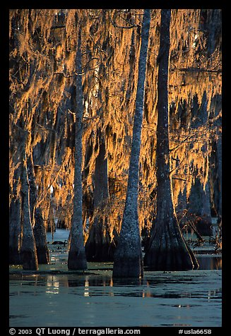 Bald cypress trees covered with Spanish mosst, Lake Martin. Louisiana, USA