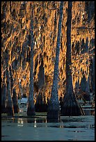 Bald cypress trees covered with Spanish mosst, Lake Martin. Louisiana, USA (color)