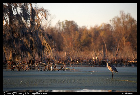Bird in the swamp, Lake Martin. Louisiana, USA