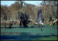 Bird landing, Lake Martin. Louisiana, USA (color)