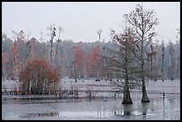 Swamp with bald cypress at dawn. South Carolina, USA (color)