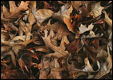 Fallen leaves close-up. Tennessee, USA (color)