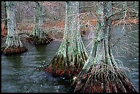 Cypress in Reelfoot National Wildlife Refuge. Tennessee, USA (color)