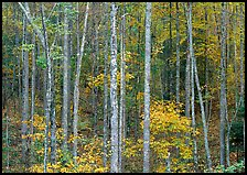 Trees in fall color, Blue Ridge Parkway. USA ( color)