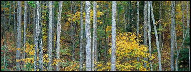 Fall forest scenery. Virginia, USA (Panoramic color)