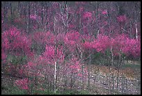 Redbud trees in bloom. Virginia, USA (color)