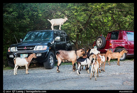 Goats. Saint John, US Virgin Islands (color)